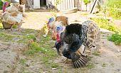 image of turkey-cock  - The photo shows the turkeys on the farm - JPG