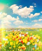 picture of leak  - Tulip flowers field over cloudy blue sky on sunny day - JPG