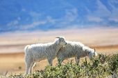 image of steppes  - Goats grazing in south Patagonian steppe - JPG