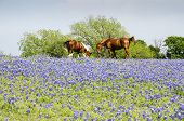 stock photo of pastures  - Horse on Pasture with Blue Bonnets in the Foreground - JPG