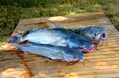picture of catfish  - Three fresh caught catfish ready to be filleted - JPG