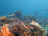 image of shoal fish  - Thriving coral reef alive with marine life and shoals of fish Bali - JPG