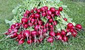 foto of radish  - Many fresh red radishes with leaves on the grass - JPG