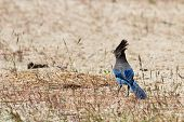 picture of blue jay  - Steller - JPG