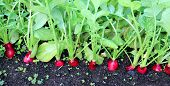 Постер, плакат: Ripe Oval Red Radishes