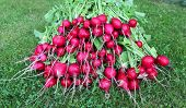 image of radish  - Many fresh red radishes with leaves on the grass - JPG