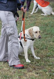 stock photo of seeing eye dog  - A blind person is led by her golden retriever guide dog during the last training for the dog - JPG