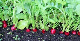 picture of radish  - Ripe oval red radishes in the garden - JPG
