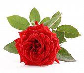 Постер, плакат: Красные розы крупным планом