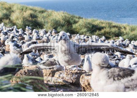 A Blackbrowed Albatross thalassarche Melanophris