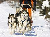 stock photo of siberian husky  - Dog - JPG