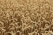 Ripe wheat field. Background texture.  poster