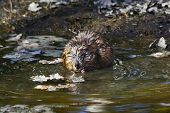 picture of muskrat  - Muskrat sitting on the shore of lake