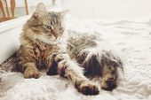 Beautiful Tabby Cat Lying On Bed And Sleeping In Soft Morning Light. Fluffy Maine Coon With Funny Em poster