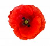 Single Red  Poppy Isolated On White Background.top View poster