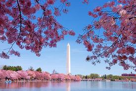 stock photo of cherry blossoms  - Washington DC cherry blossom with lake and Washington Monument - JPG
