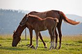 picture of workhorses  - Feeding mare and young foal on green meadow - JPG