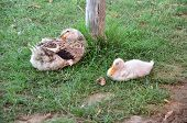 picture of mother goose  - Mother goose and its baby sit under tree near water - JPG
