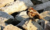 stock photo of novosibirsk  - sparrow on the stone in the park of Novosibirsk - JPG