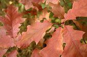 Постер, плакат: Красноватый осенние листья
