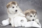 stock photo of laughable  - One month old alaskan malamute puppies with toilet paper - JPG