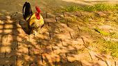 pic of bantams  - Bantam chickens are walking on the floor - JPG