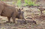 stock photo of wart  - A female warthog (Phacochoerus aethiopicus) grazing with her piglets in the Kruger National Park, South Africa. ** Note: Shallow depth of field - JPG