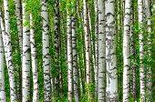 Trees In The Birch Wood