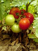 tomatoes sprayed with Bordeaux mixture to protect against fungal infections