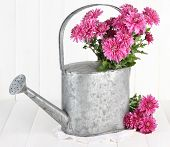 Bouquet of pink chrysanthemum in watering can on white wooden background