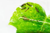 foto of cocoon tree  - Mature larva before emerge from slough on green leaf
