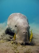 picture of sea cow  - A dugong dugon eats seagrass with a few juvenile pilot jacks - JPG