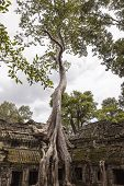 stock photo of straddling  - An enormous spung tree  - JPG