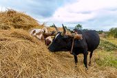 foto of yoke  - A pair of oxen fitted with a yoke eating from a haystack - JPG