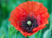 stock photo of opiate  - Big red poppy flower on a meadow close up [[** Note: Shallow depth of field] ** Note: Soft Focus at 100%, best at smaller sizes - JPG