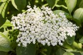 picture of elderberry  - White inflorescence elderberry (Sambucus nigra) as background [[** Note: Shallow depth of field ** Note: Visible grain at 100%, best at smaller sizes - JPG