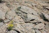 picture of camphor  - False Goldenasters growing on a rock in New Mexico