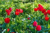 pic of garden eden  - Beautiful tulip meadow in spring garden selective focus - JPG