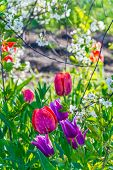 picture of garden eden  - Beautiful tulip meadow in spring garden selective focus - JPG