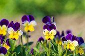 image of garden eden  - Beautiful pansy flower in garden - JPG