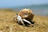 pic of hermit crab  - Hermit Crab in a screw shell - JPG