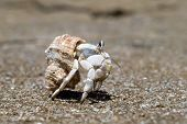 picture of hermit crab  - Hermit Crab in a screw shell - JPG