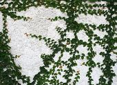 pic of climber plant  - The Green Creeper Plant on a White Wall Creates a Beautiful Background - JPG