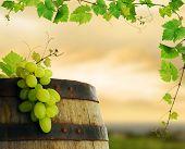 Постер, плакат: Винная бочка с виноградной лозы и винограда