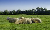 foto of baby sheep  - Young sheep lying with flock on green pasture with blue sky above - JPG