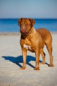picture of dogue de bordeaux  - dogue de bordeaux dog portrait outdoors on a beach - JPG
