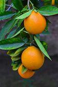 stock photo of tangerine-tree  - Tangerines ripening on the tree - JPG