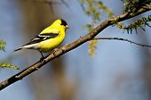 stock photo of goldfinches  - Male Goldfinch Perched on a Branch in a Tree  - JPG