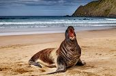 stock photo of cannibalism  - Wild seal on the beach - JPG