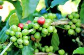 picture of coffee crop  - Coffee beans on tree in coffee plantation - JPG